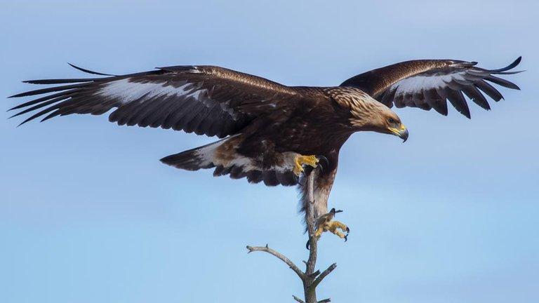 Día del águila real: por qué se celebra este 13 de febrero al ave sagrada y símbolo nacional de México.