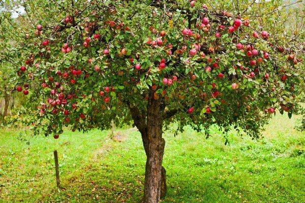Reflexiones, El árbol de manzanas.