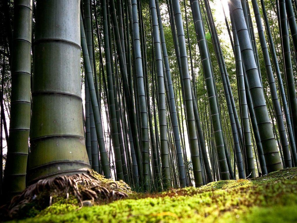 Reflexiones, El Bambú Japonés.